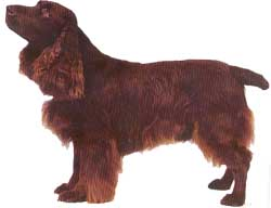 The Field Spaniel is a combination of beauty and utility.